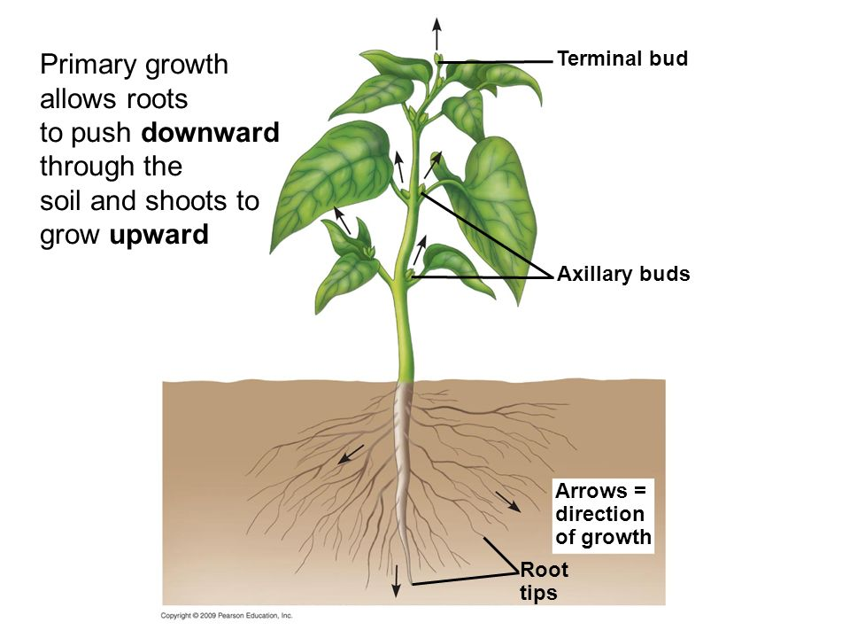 Primary growth allows roots to push downward through the