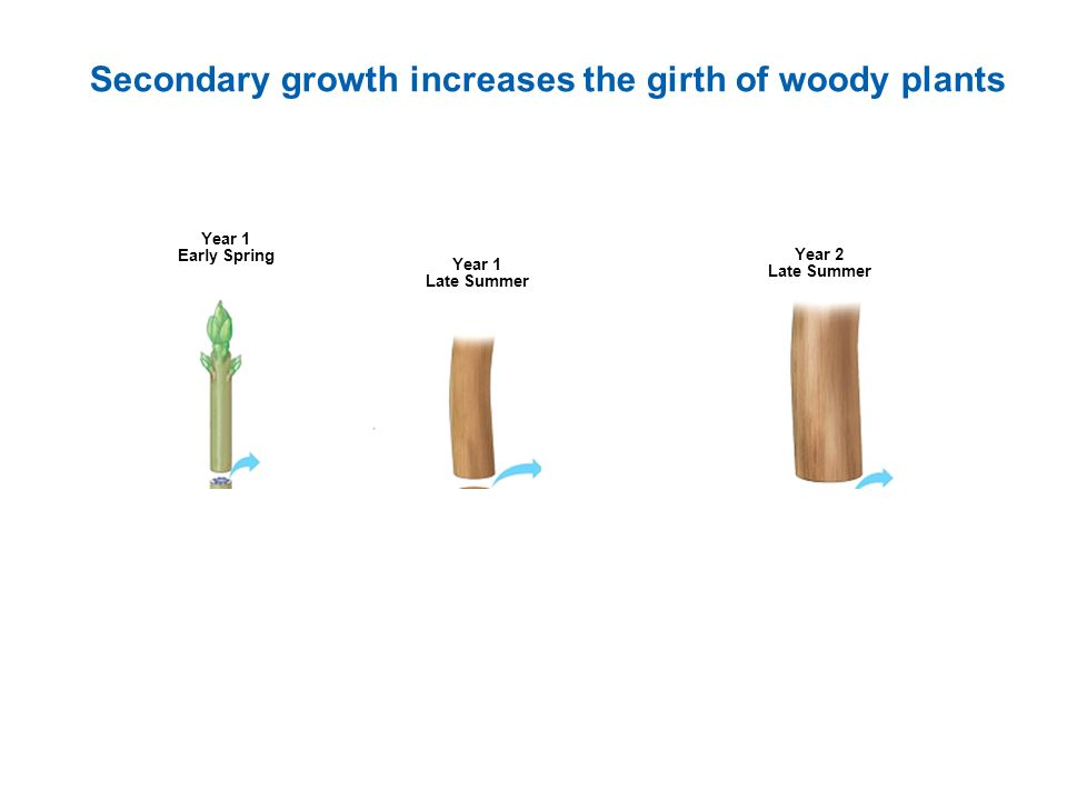 Secondary growth increases the girth of woody plants