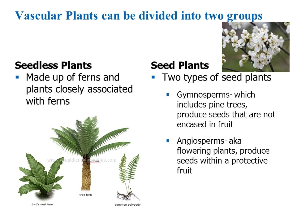 Vascular Plants can be divided into two groups
