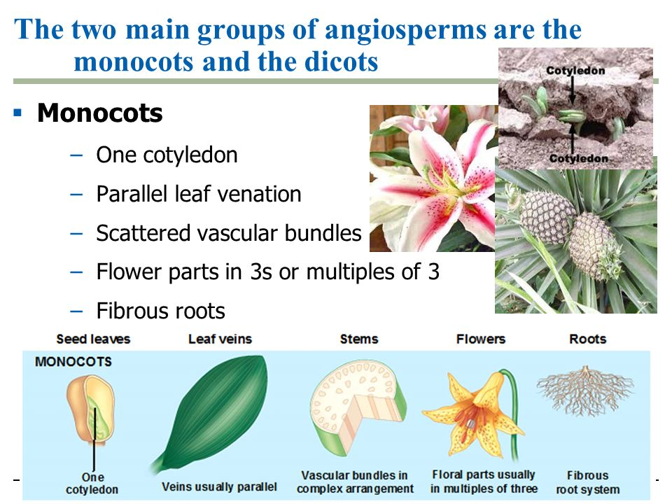 The two main groups of angiosperms are the monocots and the dicots