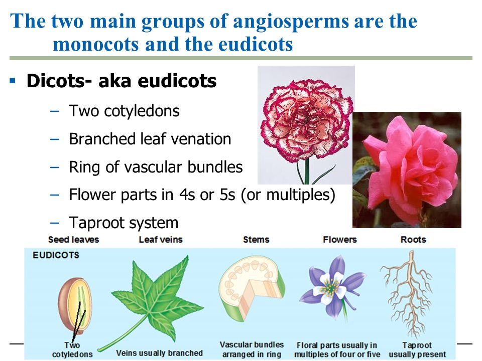 The two main groups of angiosperms are the monocots and the eudicots