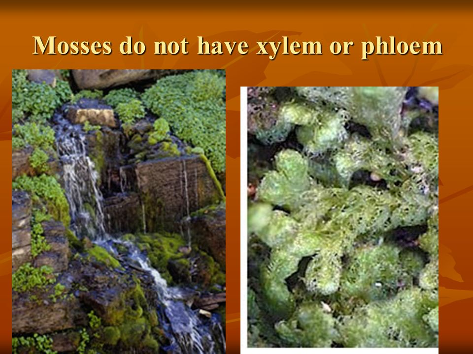 Mosses do not have xylem or phloem