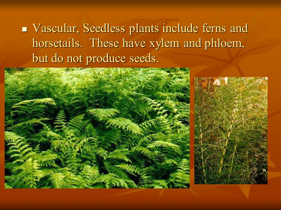 Vascular, Seedless plants include ferns and horsetails
