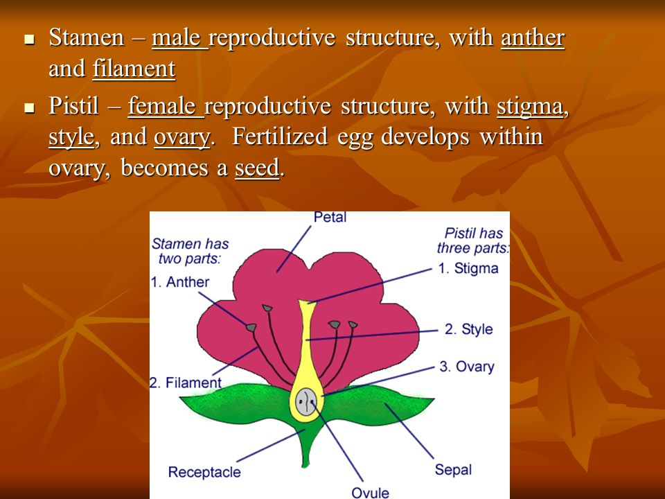 Stamen – male reproductive structure, with anther and filament