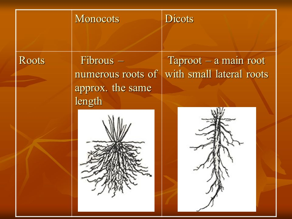Monocots Dicots. Roots. Fibrous – numerous roots of approx.