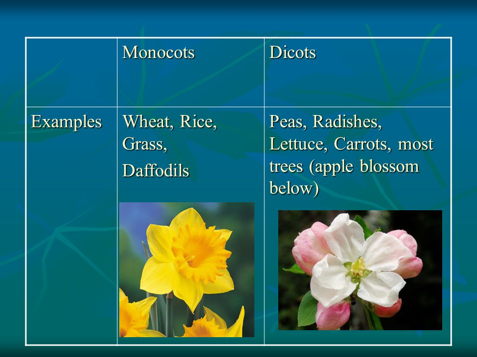 Monocots Dicots. Examples. Wheat, Rice, Grass, Daffodils.