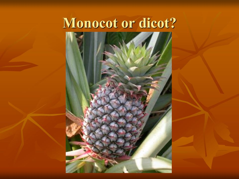 Monocot or dicot