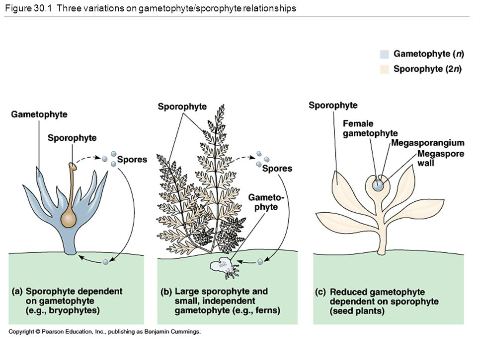 gametophyte and sporophyte relationship