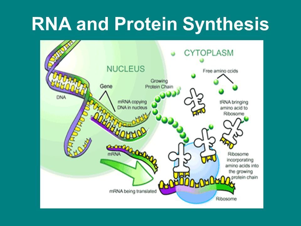 and protein sysnthesis Protein synthesis an overview of the two stages of protein production: transcription and translation like so many things in biology, these processes are both wonderfully simple and stunningly intricate.