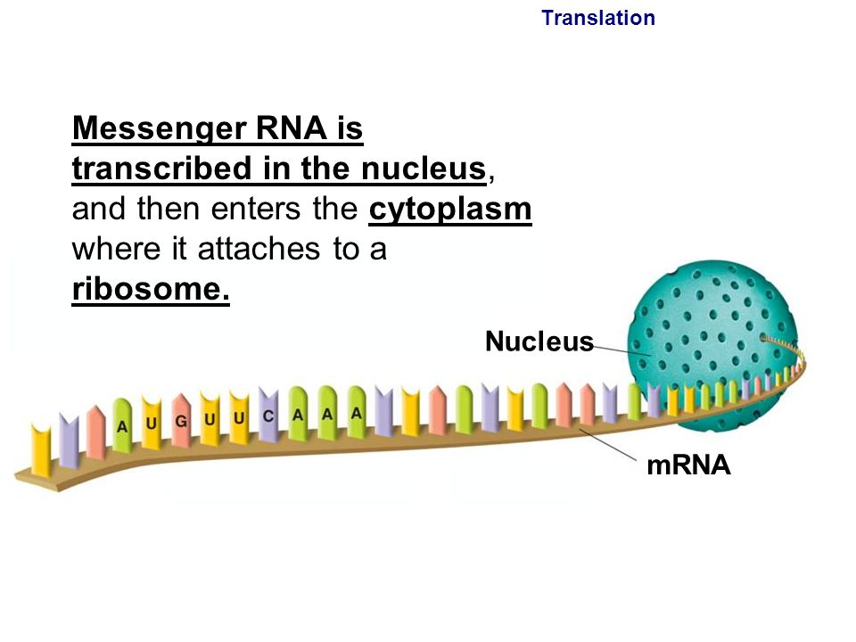 Translation Messenger RNA is transcribed in the nucleus, and then enters the cytoplasm where it attaches to a ribosome.