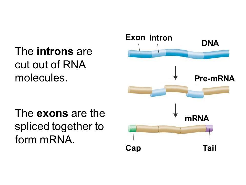 The introns are cut out of RNA molecules.