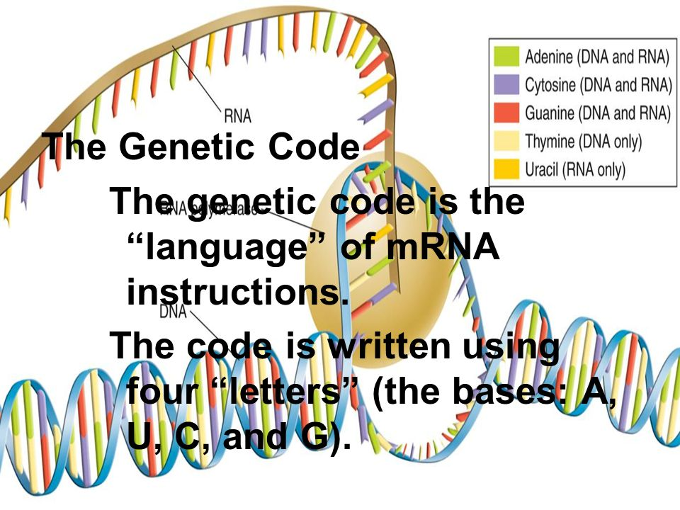 The Genetic Code The genetic code is the language of mRNA instructions.