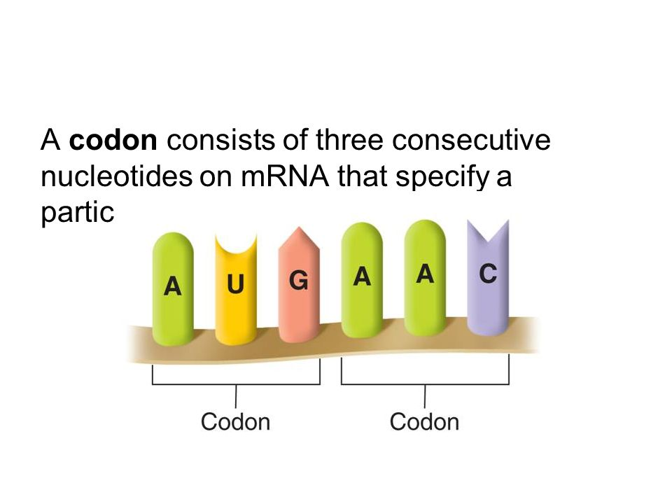 A codon consists of three consecutive nucleotides on mRNA that specify a particular amino acid.
