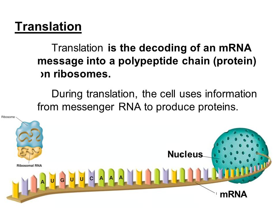 Translation Translation is the decoding of an mRNA message into a polypeptide chain (protein) on ribosomes.