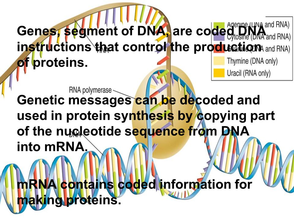 Genes, segment of DNA, are coded DNA instructions that control the production of proteins.