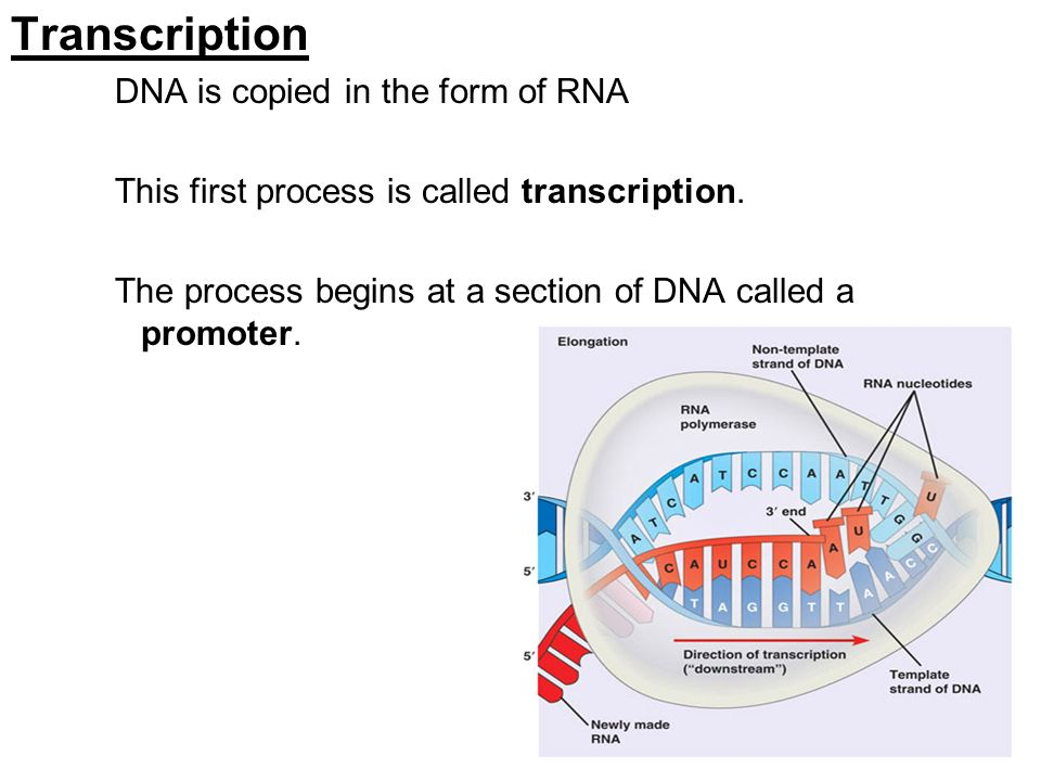 Transcription DNA is copied in the form of RNA