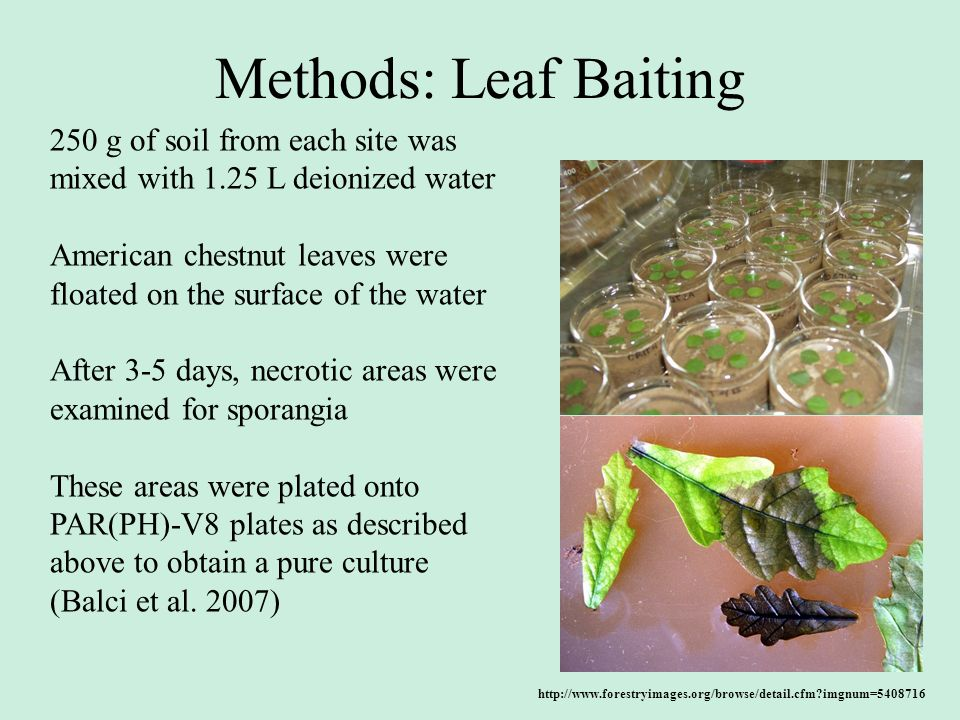Methods: Leaf Baiting 250 g of soil from each site was mixed with 1.25 L deionized water.