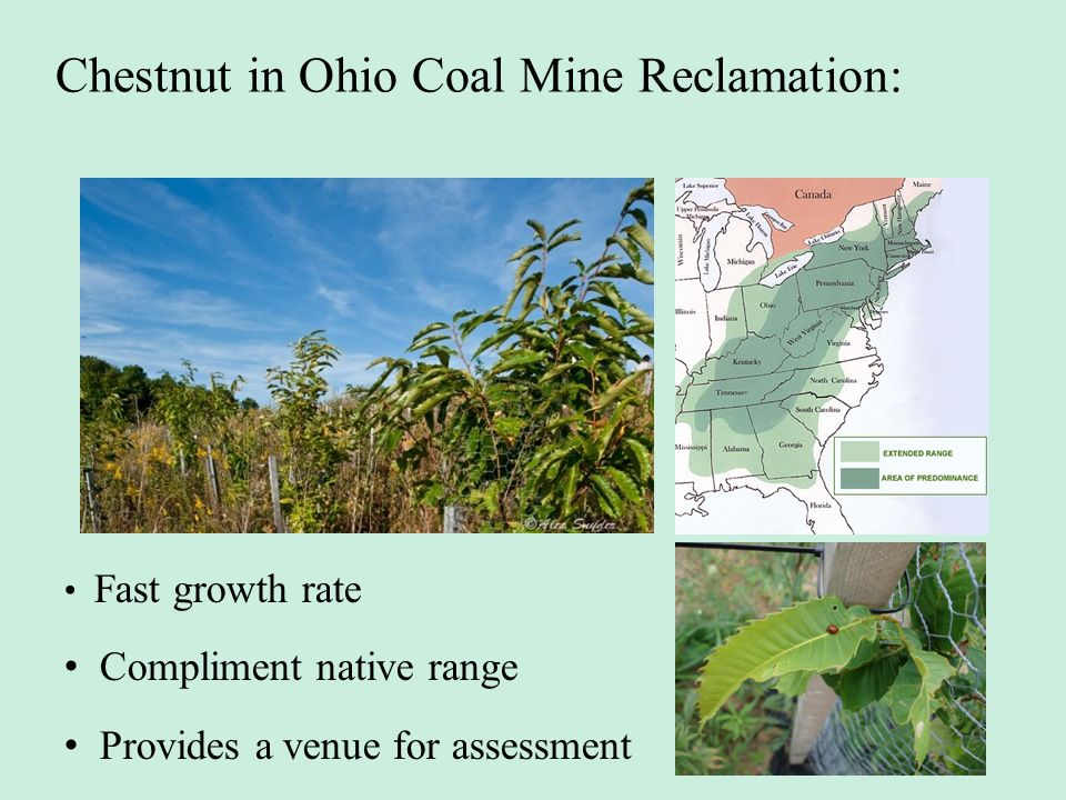 Chestnut in Ohio Coal Mine Reclamation: