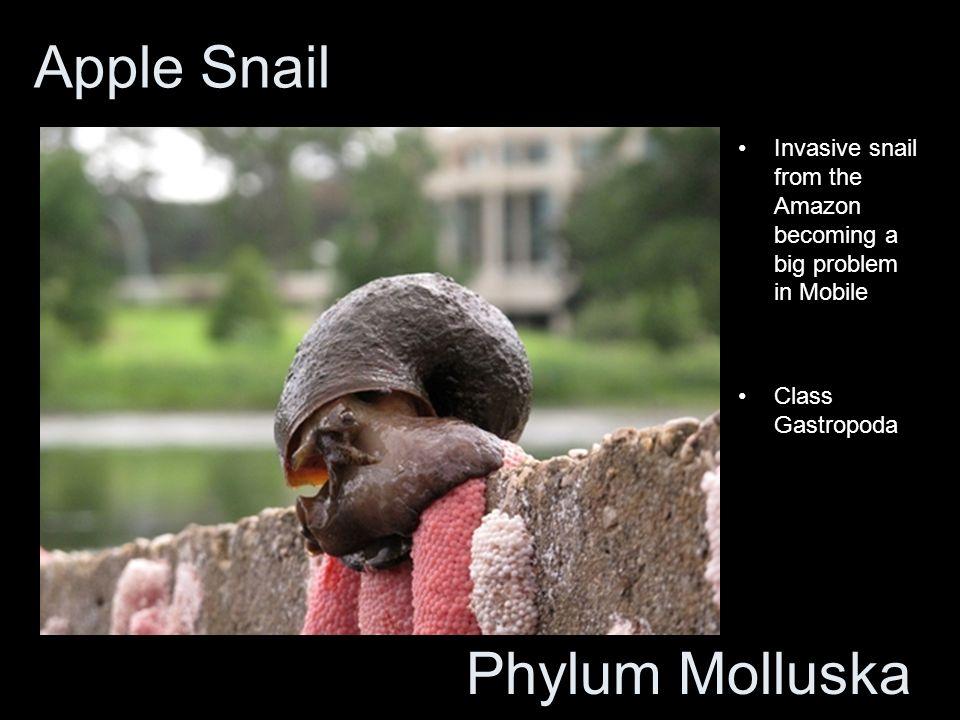Apple Snail Phylum Molluska
