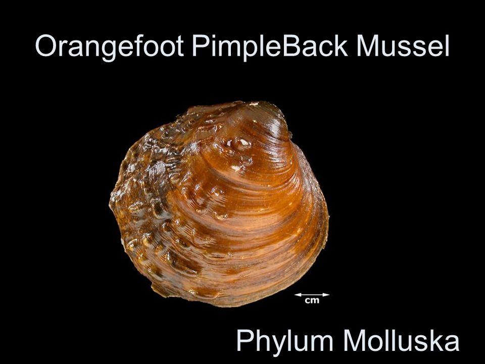 Orangefoot PimpleBack Mussel