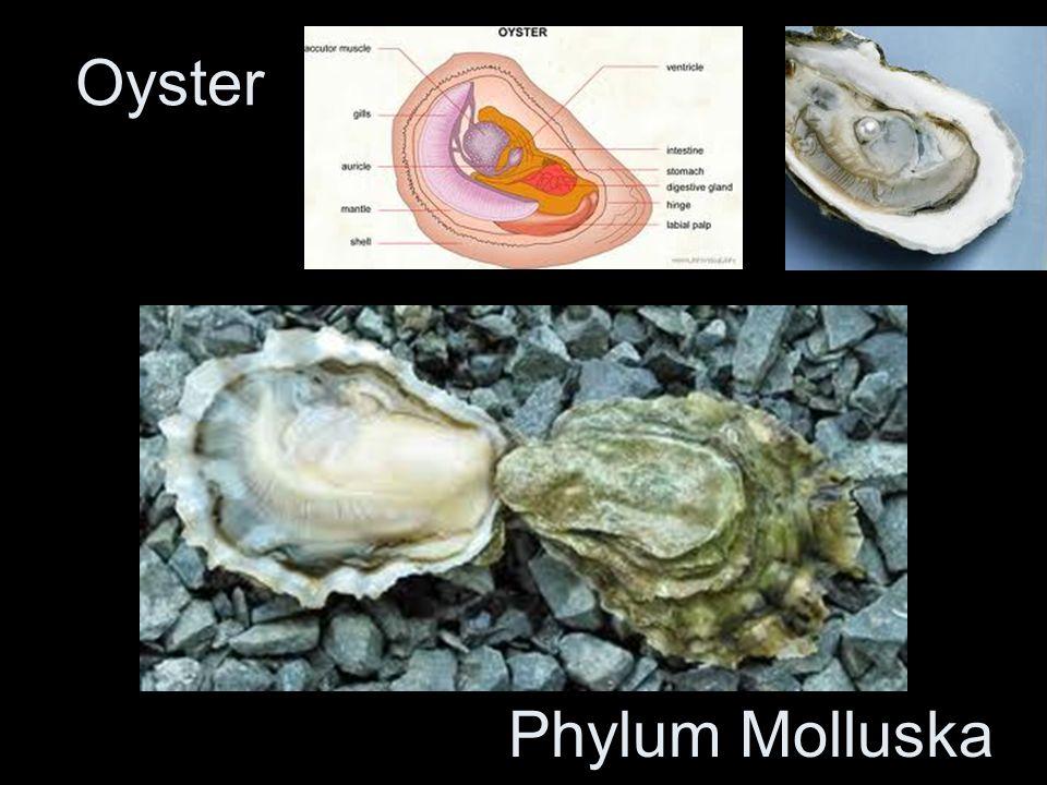 Oyster Phylum Molluska