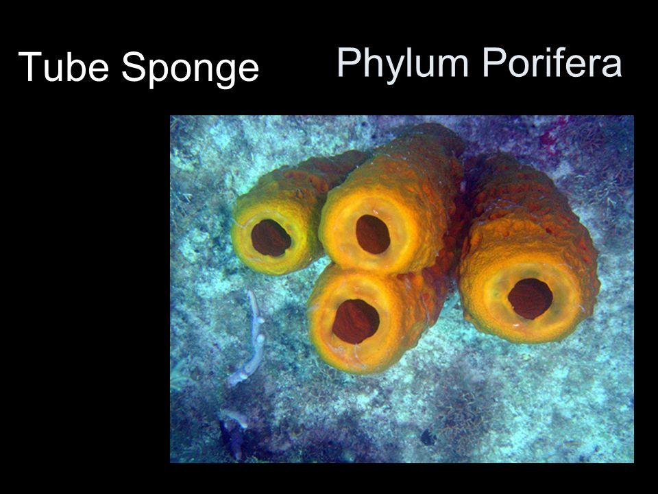 Phylum Porifera Tube Sponge