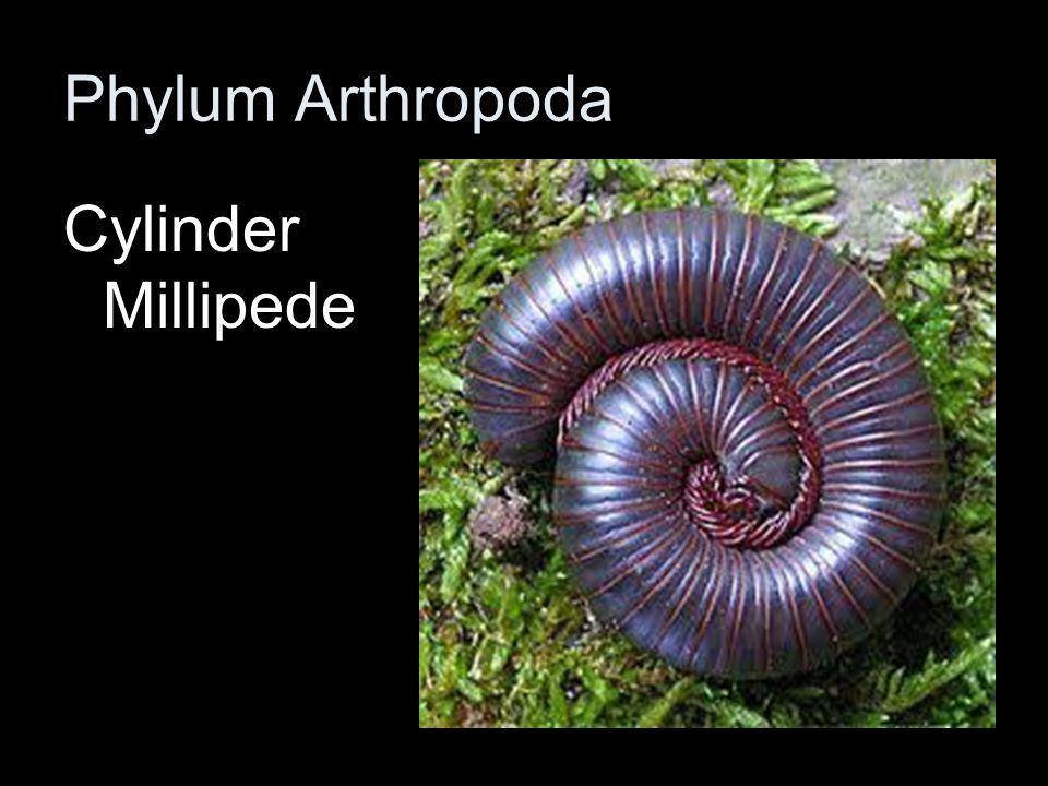 Phylum Arthropoda Cylinder Millipede