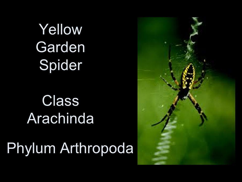 Yellow Garden Spider Class Arachinda
