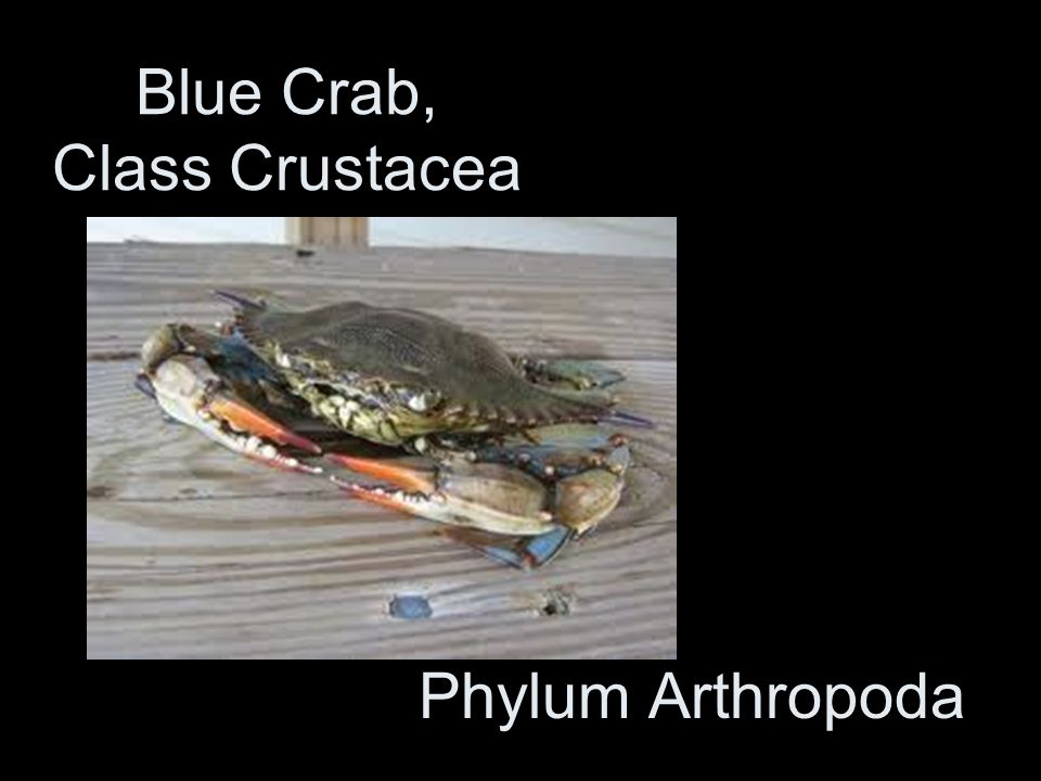 Blue Crab, Class Crustacea