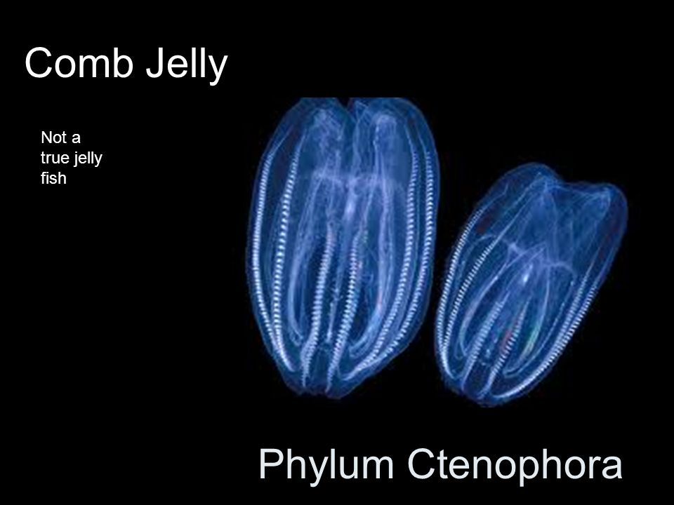 Comb Jelly Not a true jelly fish Phylum Ctenophora