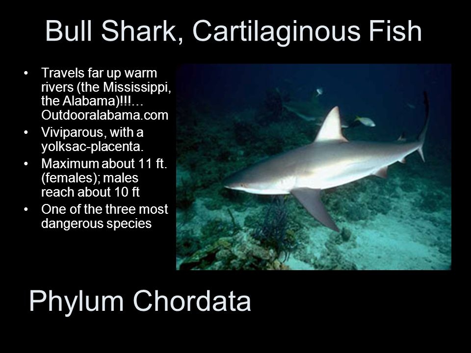 Bull Shark, Cartilaginous Fish