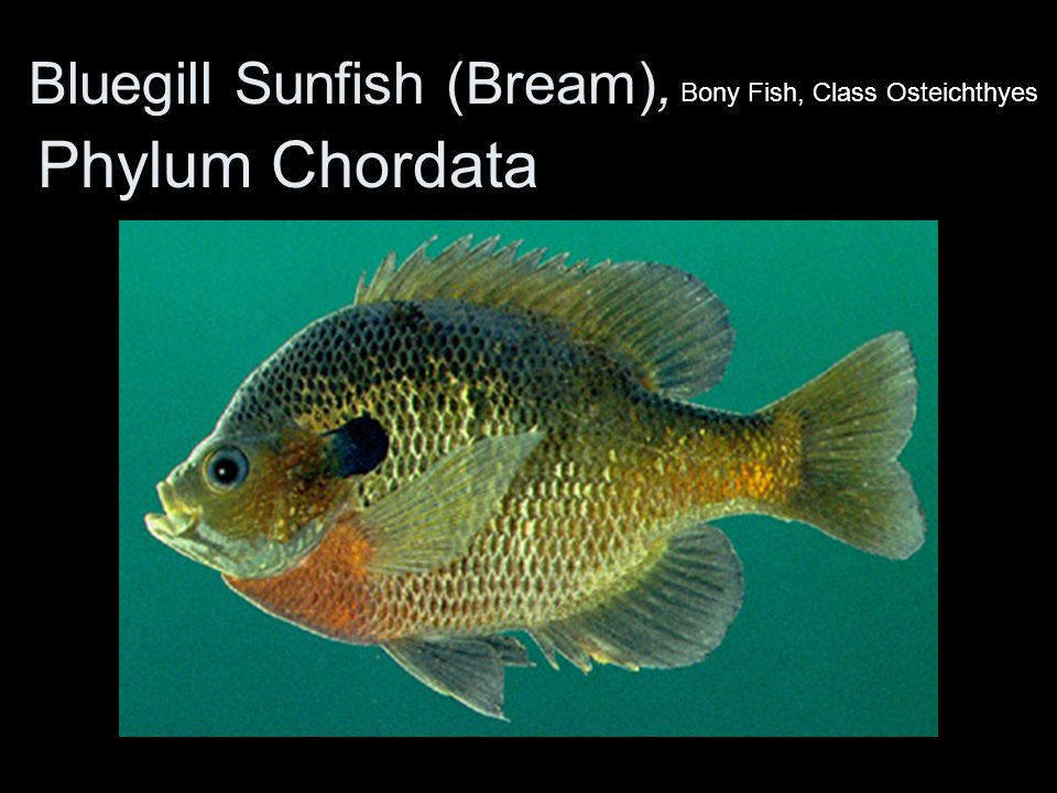 Bluegill Sunfish (Bream),