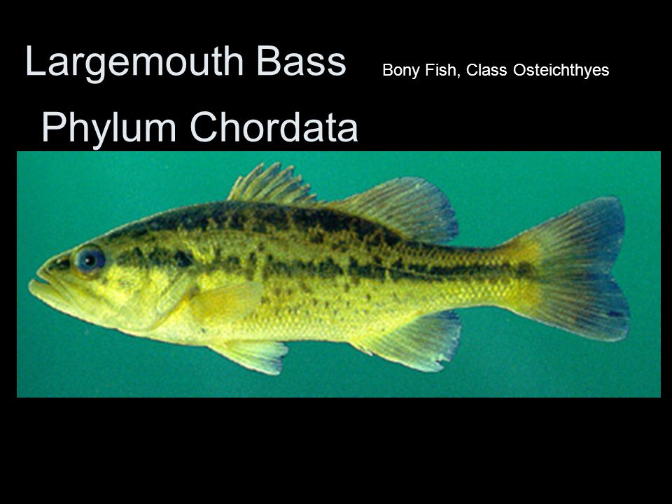 Largemouth Bass Bony Fish, Class Osteichthyes Phylum Chordata