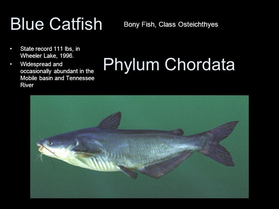 Blue Catfish Phylum Chordata Bony Fish, Class Osteichthyes
