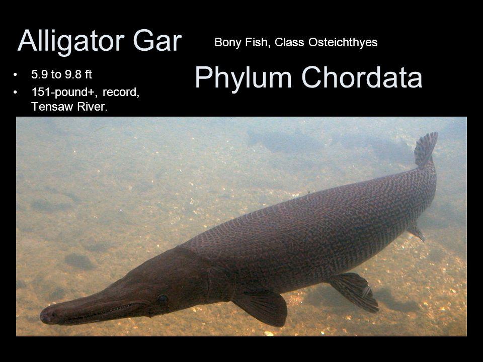 Alligator Gar Phylum Chordata Bony Fish, Class Osteichthyes