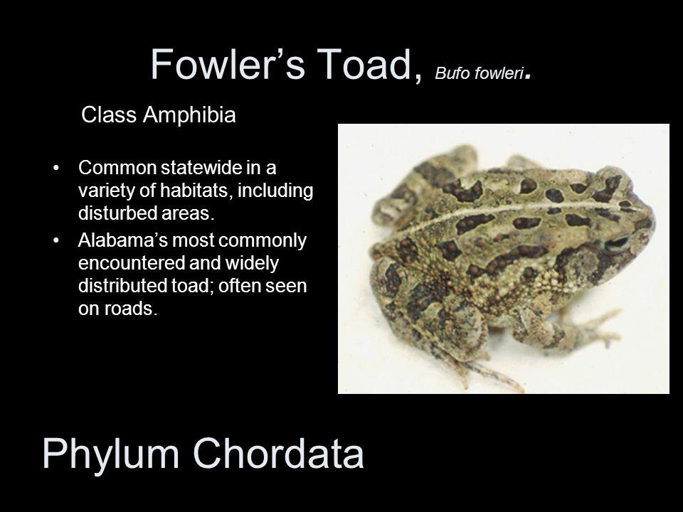 Fowler's Toad, Bufo fowleri.