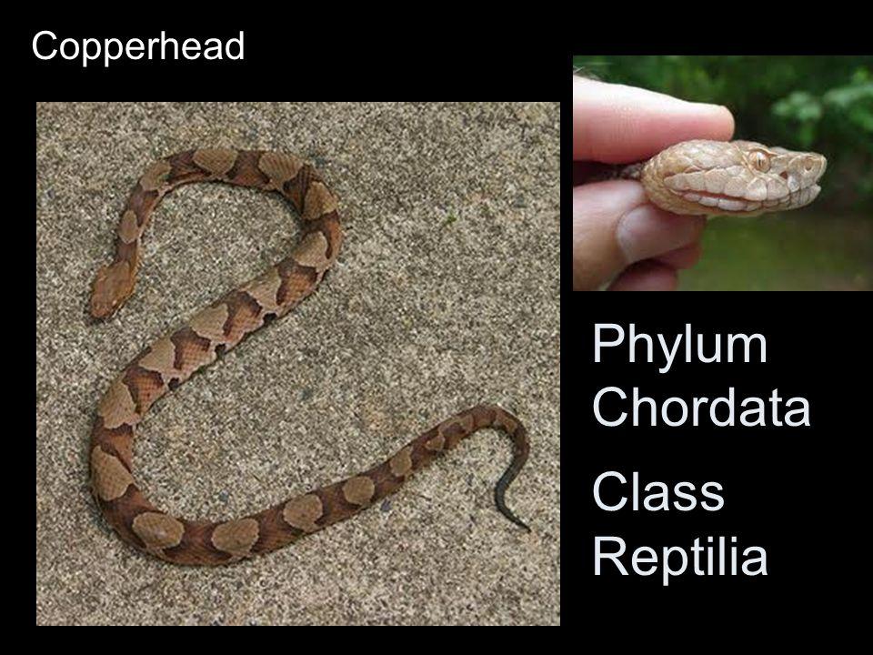 Copperhead Phylum Chordata Class Reptilia