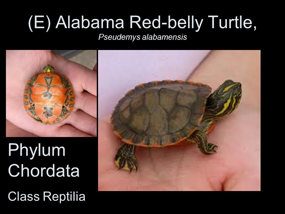 (E) Alabama Red-belly Turtle, Pseudemys alabamensis