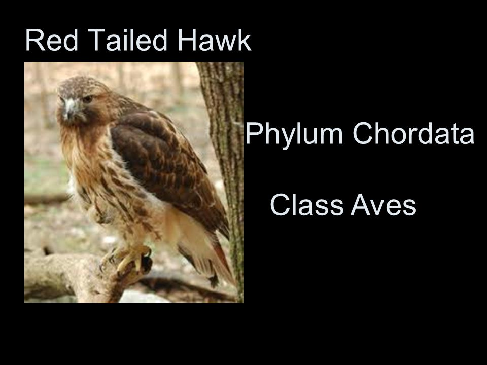 Red Tailed Hawk Phylum Chordata Class Aves
