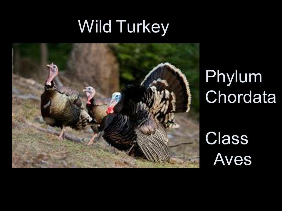 Wild Turkey Phylum Chordata Class Aves