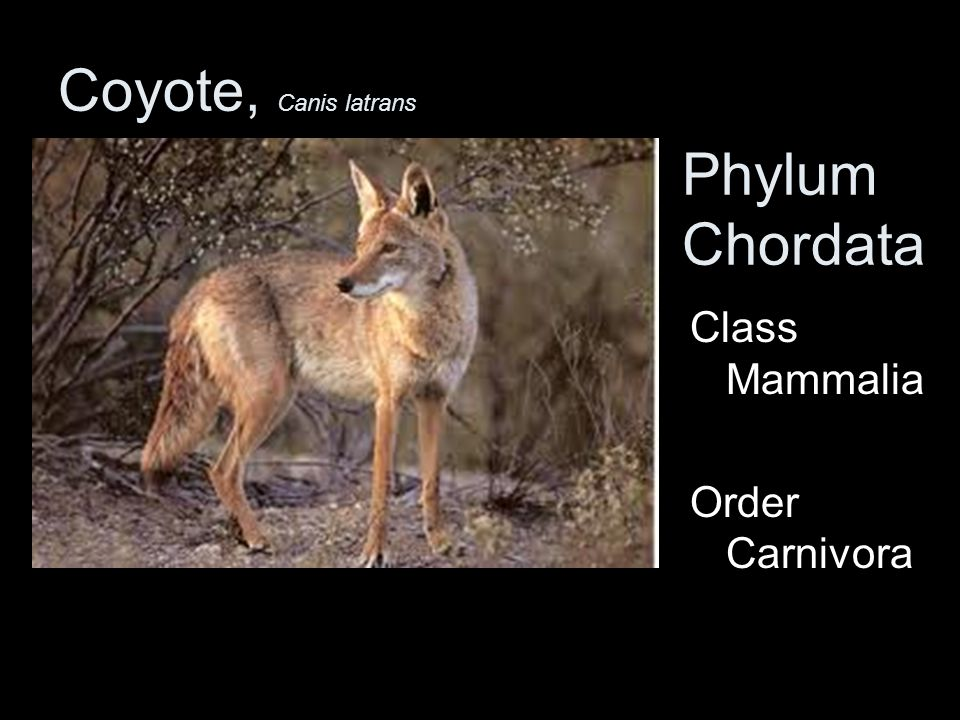 Coyote, Canis latrans Phylum Chordata Class Mammalia Order Carnivora