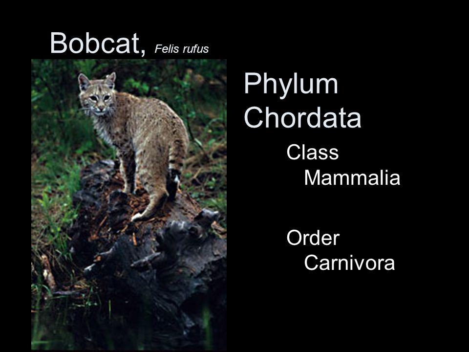 Bobcat, Felis rufus Phylum Chordata Class Mammalia Order Carnivora