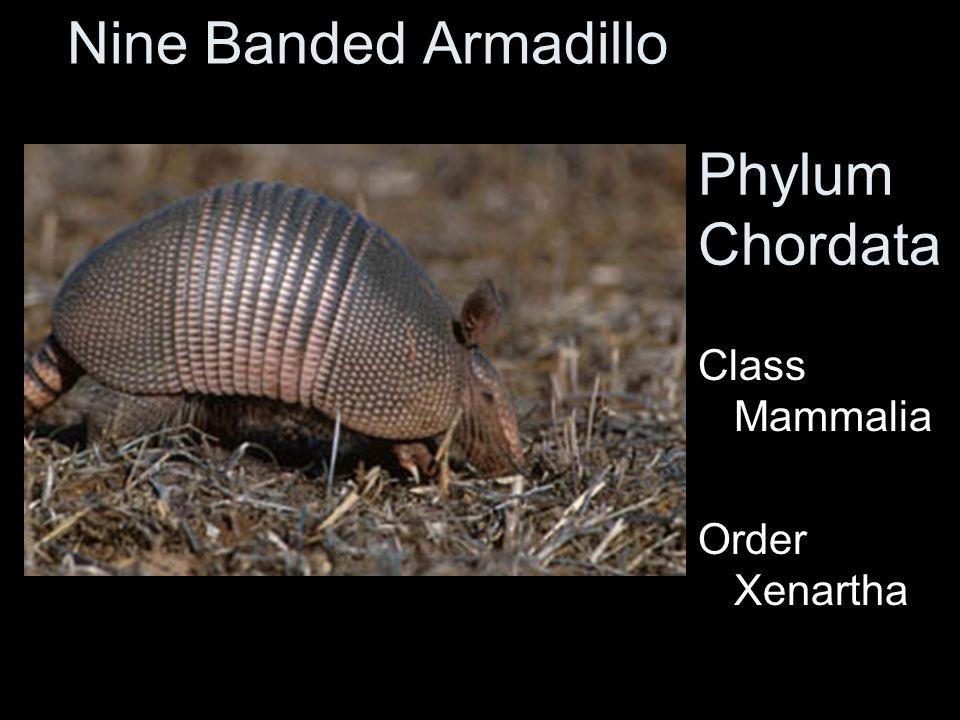 Nine Banded Armadillo Phylum Chordata Class Mammalia Order Xenartha