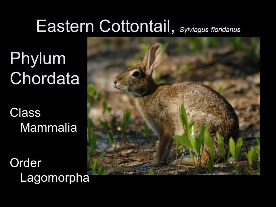 Eastern Cottontail, Sylviagus floridanus