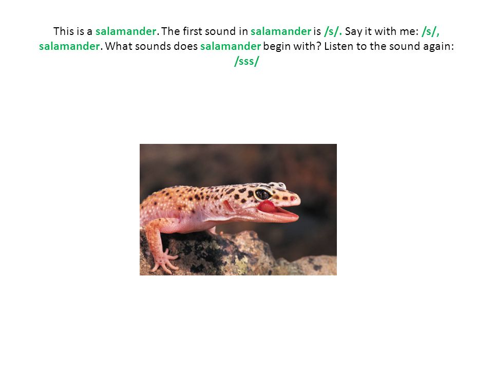 This is a salamander. The first sound in salamander is /s/