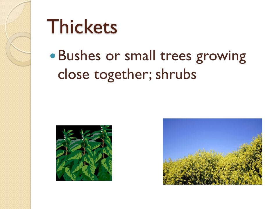 Thickets Bushes or small trees growing close together; shrubs