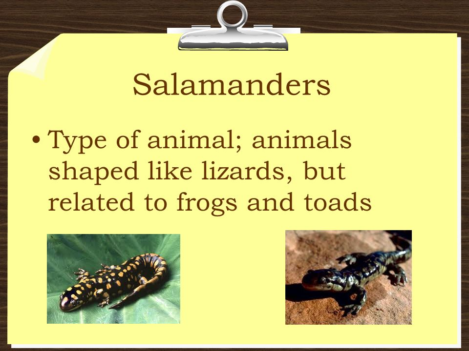 Salamanders Type of animal; animals shaped like lizards, but related to frogs and toads