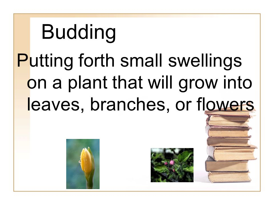 Budding Putting forth small swellings on a plant that will grow into leaves, branches, or flowers