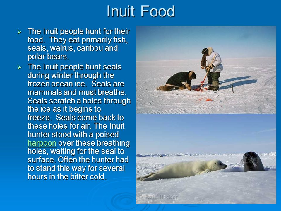Inuit FoodThe Inuit people hunt for their food. They eat primarily fish, seals, walrus, caribou and polar bears.