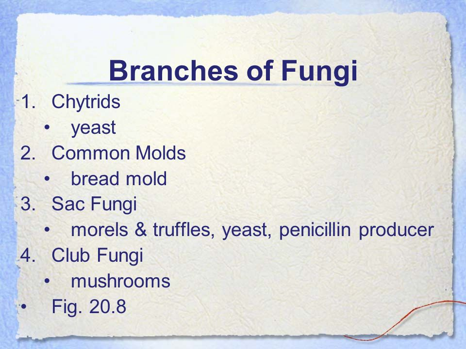 Branches of Fungi Chytrids yeast Common Molds bread mold Sac Fungi